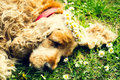 Tired female dog sleeping on the fresh green lawn with wreaths of daisies cross processed picture Stock Photography