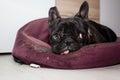 Tired french bulldog