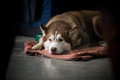 Tired husky dog laying down on a floor Royalty Free Stock Photo