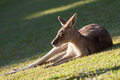 Tired kangaroo take the sun at the australia zoo Royalty Free Stock Images