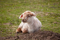 Tired little lamb newborn springtime lying in a meadow Stock Image