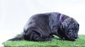Tired puppy black great dane that looks like it is ready for a nap Royalty Free Stock Image