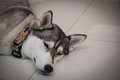 Tired siberian husky dog laying floor closeup head