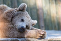 Tired sleeping relaxing brown bear in zoo Royalty Free Stock Photo
