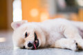 Tired and sleepy pomeranian dog Royalty Free Stock Photo