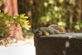 A tired squirrel takes a rest on park bench on hot day when the heat is exhausting in southern california united states in Stock Photo