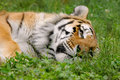 Tired tiger 3 Royalty Free Stock Photo