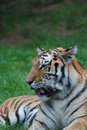 TIred Tiger with Big Teeth Royalty Free Stock Photo