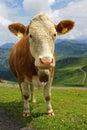 Tiroler cow Royalty Free Stock Photo