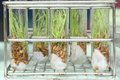 Tissue culture rice in tubes Stock Image