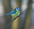 Tit blue tit on a branch in spring forest Stock Image