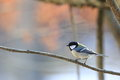 Tit on the branch of tree pictuted japanese in early winter forest Royalty Free Stock Image