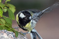 Tit flapping wings great on rock wing before fly Royalty Free Stock Images