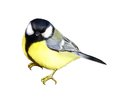 Tit great tit isolated realistic illustration white background Royalty Free Stock Photo