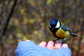 Tit on my hand Royalty Free Stock Photography