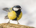 Tit parus major a bird in the wild Royalty Free Stock Photos