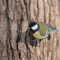 Tit tree trunk close up Royalty Free Stock Photo