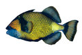 Titan triggerfish Royalty Free Stock Photo