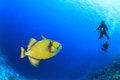 Titan Triggerfish and Scuba Divers Stock Image