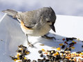 Titmouse bird feeding off birdseed on white plate closeup Royalty Free Stock Photos