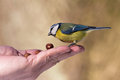 Titmouse on hand Stock Photography