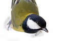 The  titmouse largely Royalty Free Stock Photos