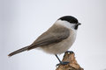 Titmouse Royalty Free Stock Photo
