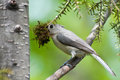 Titmouse with Nesting Material Royalty Free Stock Photography