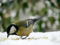 Titmouse on a snowy table in the winter