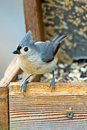 Titmouse tufté Photographie stock