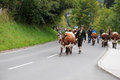 To bring the cattle down in autumn they start from mountain pastures cows with bells on street in wagrain at this day Stock Images
