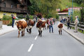 To bring the cattle down in autumn they start from mountain pastures cows with bells on street in wagrain at this day Royalty Free Stock Images