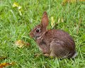 About to go cottontail rabbit on the lawn that looks ready run Royalty Free Stock Image