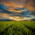 To sunset trough the field Royalty Free Stock Photo