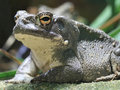 Toad Royalty Free Stock Photography
