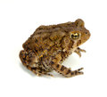 Toad american bufo americanus on a white background Stock Photo