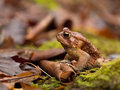 Toad brown sitting on a curled up leaf Stock Image