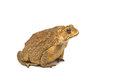 Toad bufo bufo common toad isolate Stock Image