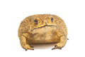 Toad bufo bufo common toad isolate Royalty Free Stock Photography