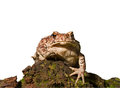 Toad (Bufo gargarizans) 3 Stock Photo