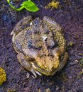 Toad Frog In Spring. Many Frog...