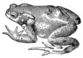 Toad frog vintage illustration Royalty Free Stock Photo