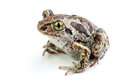 Toad with golden eyes on white Royalty Free Stock Photo