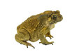 Toad isolated Royalty Free Stock Photo