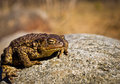Toad on a stone Royalty Free Stock Image