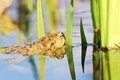 Toad toads reflection on water s head above water the green water plants Stock Images