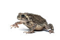 Toad on white background Stock Image