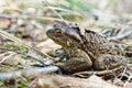 Toad who has woken up after hibernation Royalty Free Stock Photos