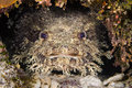 Toadfish a in a crevice on a reef in roatan honduras Royalty Free Stock Photography