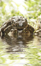 Toads provide for their young Royalty Free Stock Photography